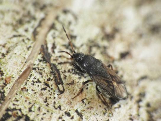 m.sabulicola