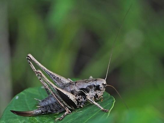 p.griseoaptera