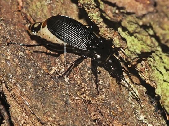 p.melanarius