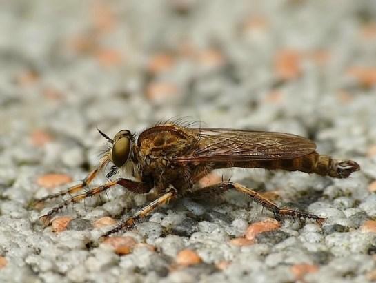 T.cingulatus