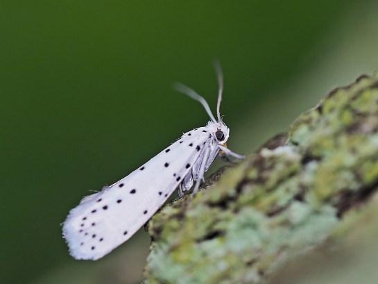 Y.cagnagella