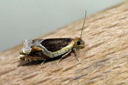 A.unculana.