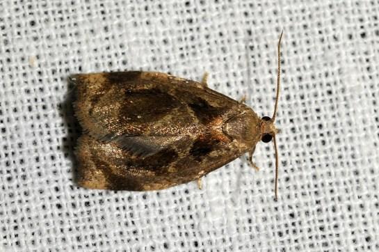 Ar.crataegana