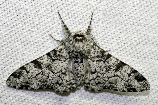 B.betularia.