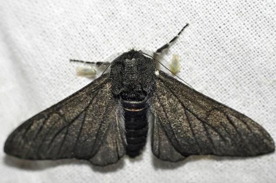 Bi.betularia