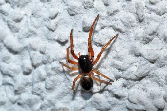 C.laticeps.
