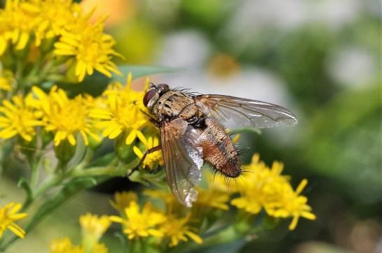 D.rustica