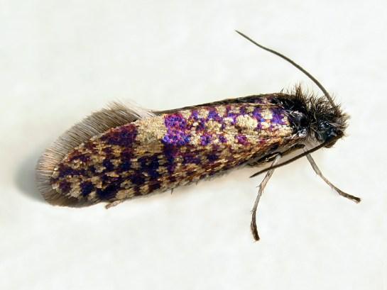 D.subpurpurella