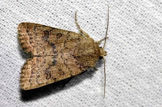 H.octogenaria