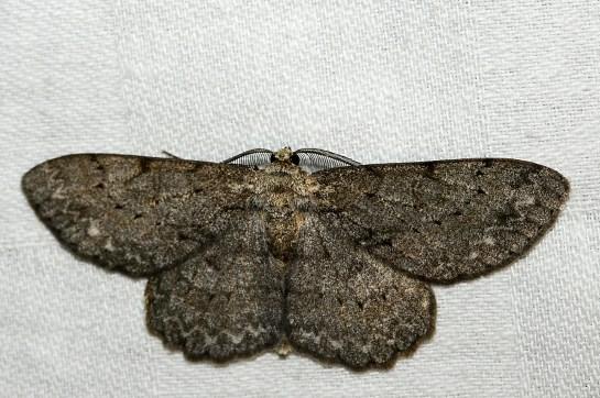 Hypom.punctinalis