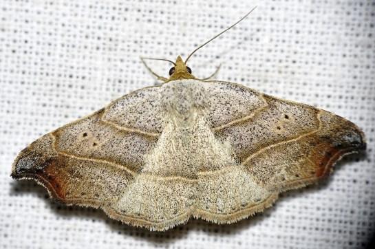 L.flexula