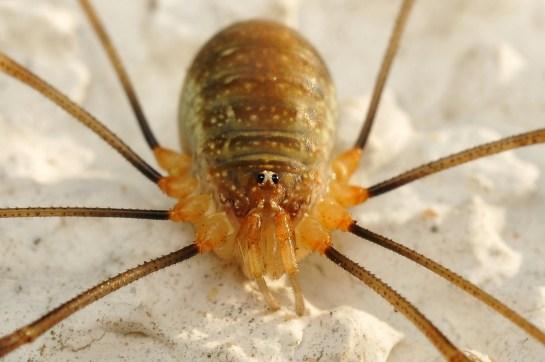 O.canestriini female