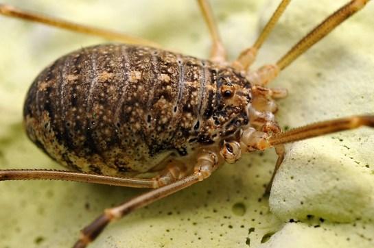 O.saxatilis female