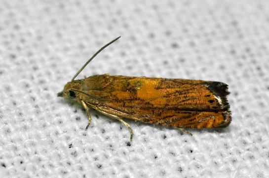 P.aurita