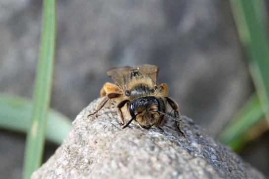 A.flavipes