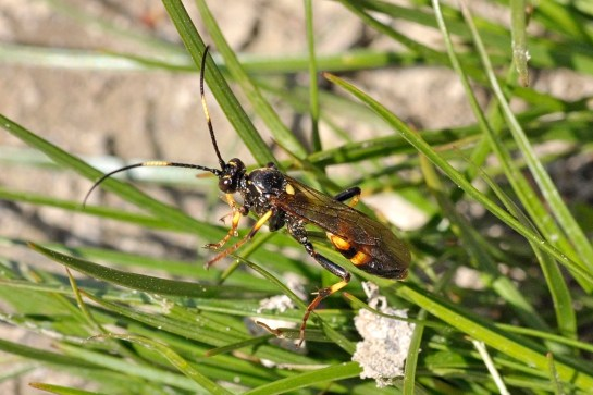 D.palliatorius