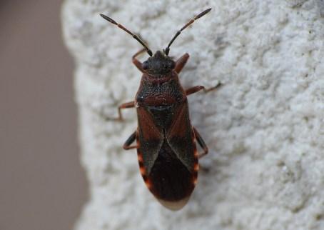 Ar.melanocephalus