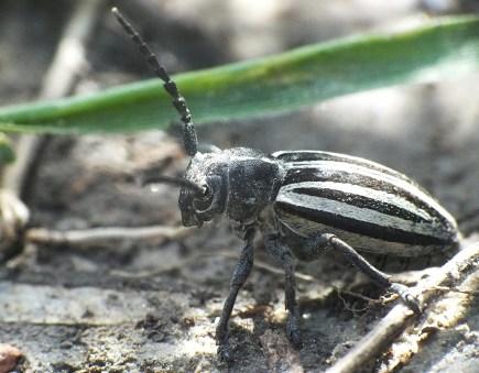 D.scopolii