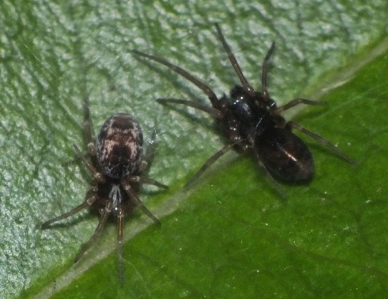 Dictyna female&male