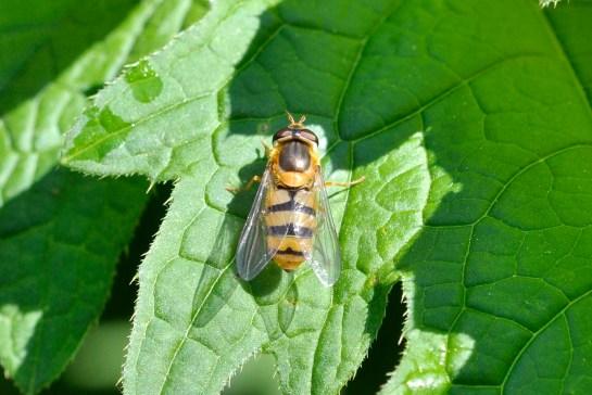 E.flava