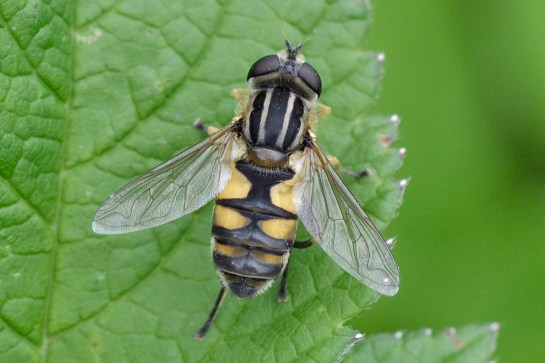 H.hybridus
