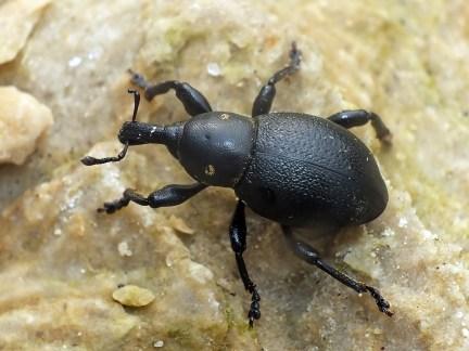 L.coronatus.
