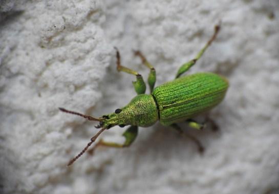P.maculicornis