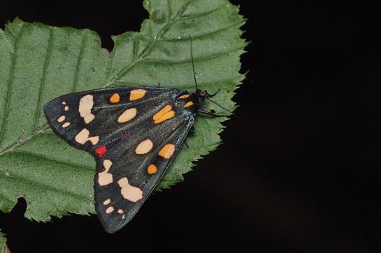 C.dominula