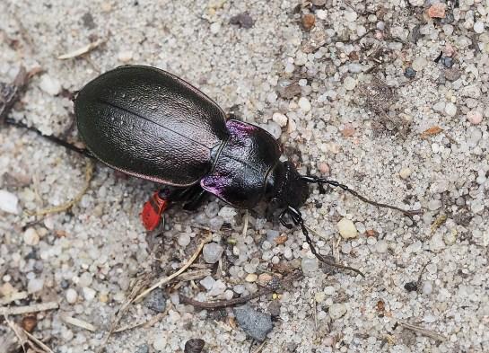 C.nemoralis