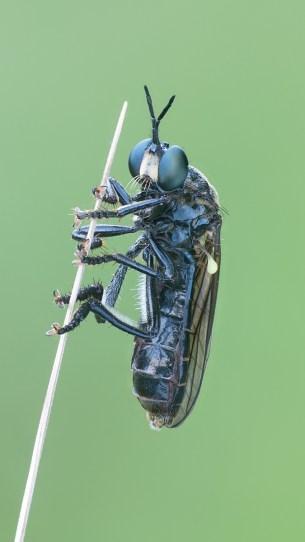 D.atricapilla