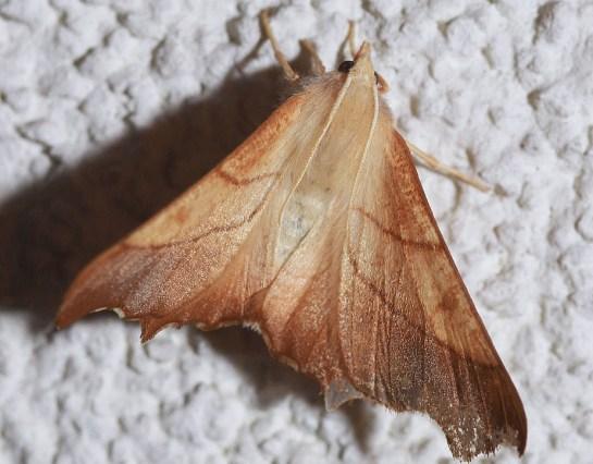 E.fuscantaria