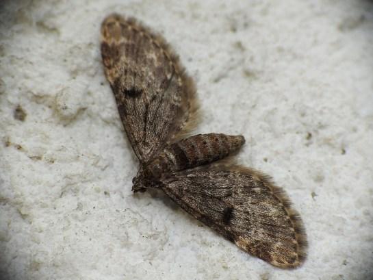 Eupithecia tantillaria ciemna forma
