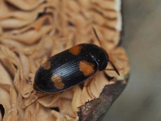 G.qpunctatus