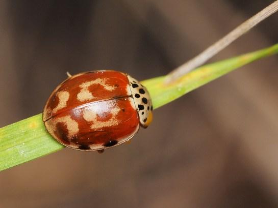 H.quadripunctata