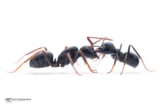 L.fuliginosus