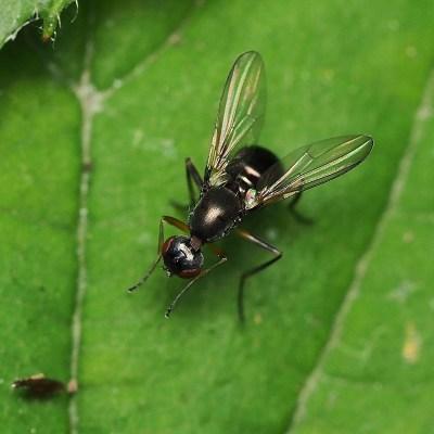 Nemopoda nitidula (Sepsidae)