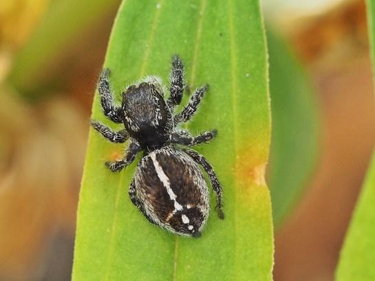 P.tripunctatus