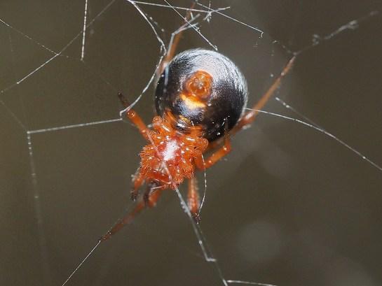 Parasteatoda female
