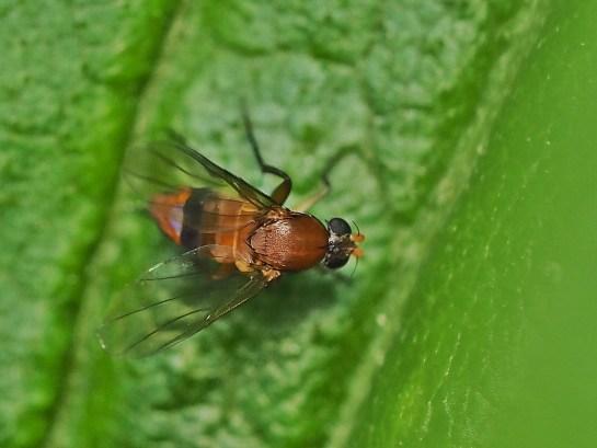 Phal.berolinensis