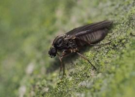 Phoridae family