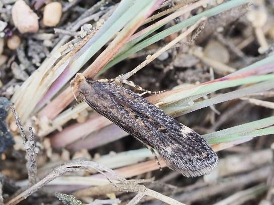A.vellocella