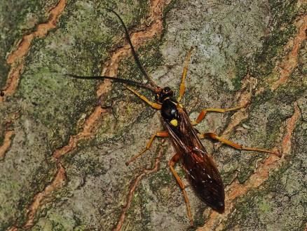 C.cirrogaster