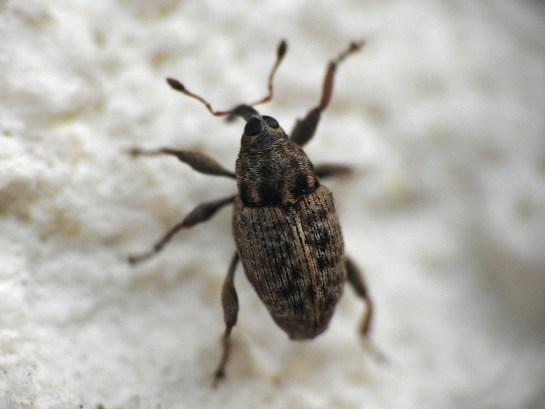 Coryssomerus