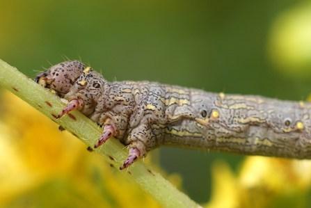 Lycia caterpillar