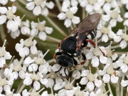 O.variegatus.
