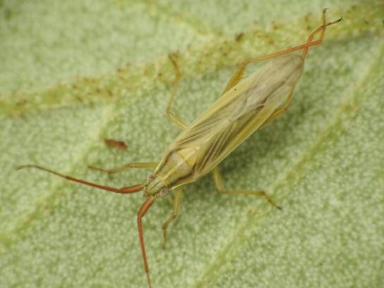 S.calcarata