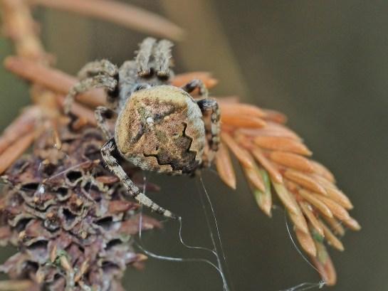 A.angulatus