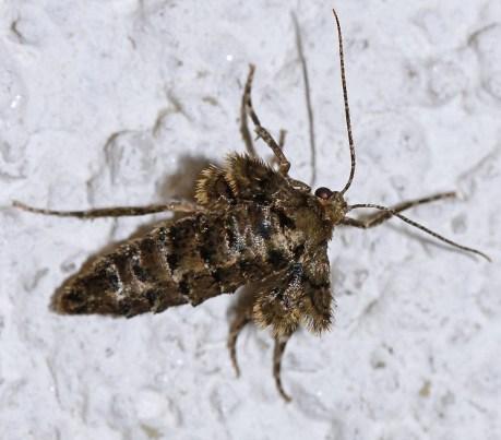 Agr. aurantaria