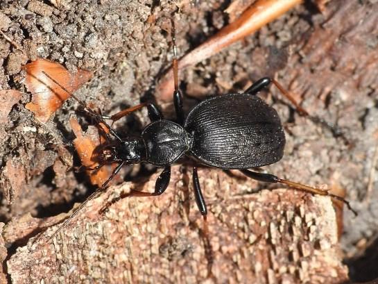 C.attenuatus
