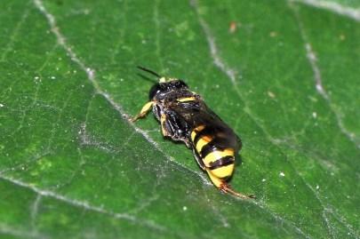 C.vagabundus.